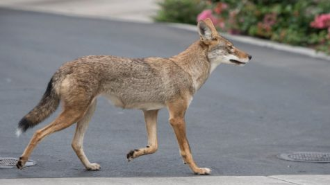 A coyote roams an Irvine neighborhood on Monday, August  21, 2017.  (Photo by Mindy Schauer, Orange County Register/SCNG)