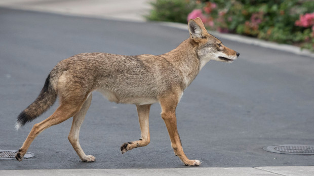 A+coyote+roams+an+Irvine+neighborhood+on+Monday%2C+August++21%2C+2017.++%28Photo+by+Mindy+Schauer%2C+Orange+County+Register%2FSCNG%29