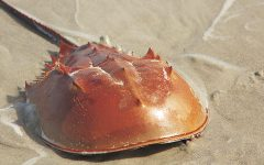 The Wonder of Horseshoe Crabs